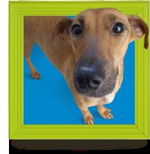 Cães adultos para adoção