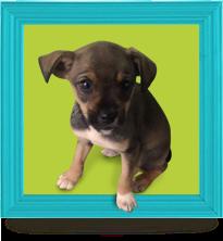Cães filhotes para adoção
